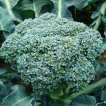 I broccoli lessati fanno male o fanno bene? Incredibile la risposta
